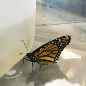 One butterfly hatched! It was great to observe the Monarch Butterfly the same day as we were drawing it!
