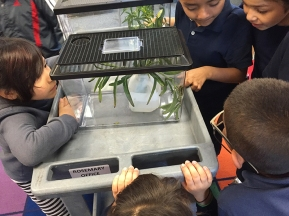 Observing the Monarch caterpillars and the chrysalis